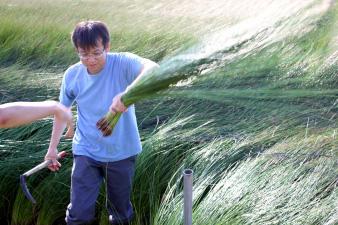 イ草刈り取り体験